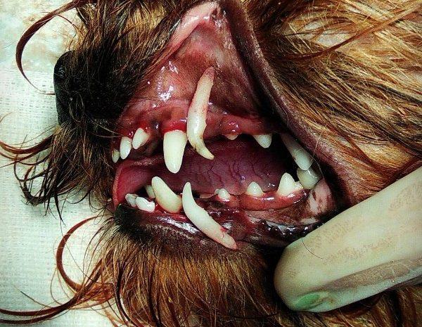 Молочные зубки собачек