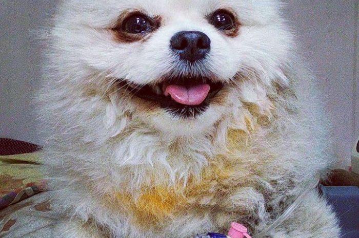 Собака-мозайка и маленький хаски